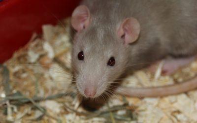 rat-369105_1920