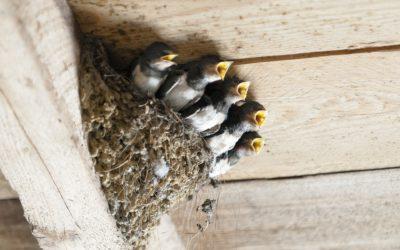 swallows-1367214_1920
